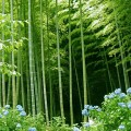 bamboo-forest-1