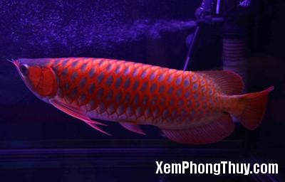 Red-Dragon-Fish