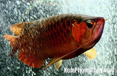 Red-Dragon-Fish2