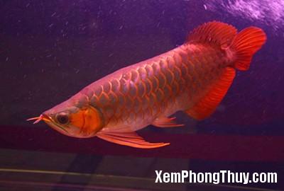 Red-Dragon-Fish4
