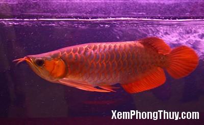 Red-Dragon-Fish5
