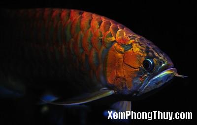 Red-Dragon-Fish6