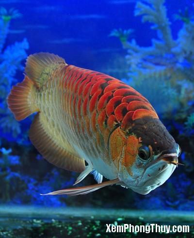 Red-Dragon-Fish7