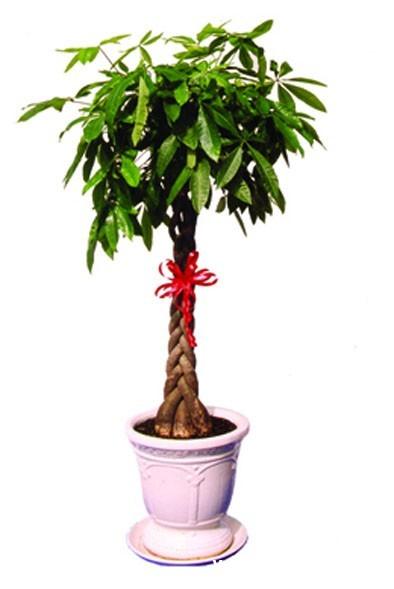 kim ngan 3 Loại cây được xem là mang lại may mắn cho gia chủ