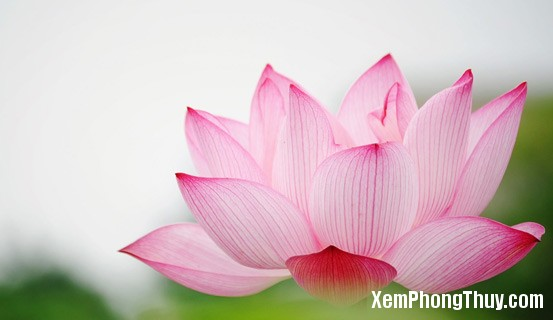 hoa sen dep Bí quyết chọn màu sắc phù hợp theo ngũ hành