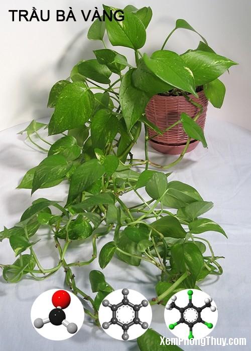 clip image004 1 11 loại cây giúp khử mùi sơn, lọc khí độc tốt nhất NASA khuyên trồng trong nhà